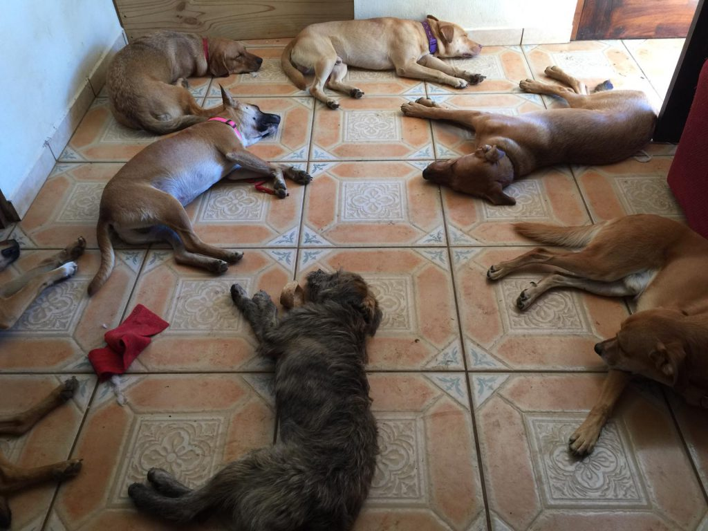 Dogs Sleeping The Wet Nose Rescue Costa Rica
