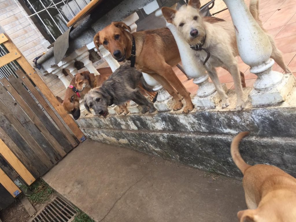 Dogs in a Row The Wet Nose Rescue Costa Rica