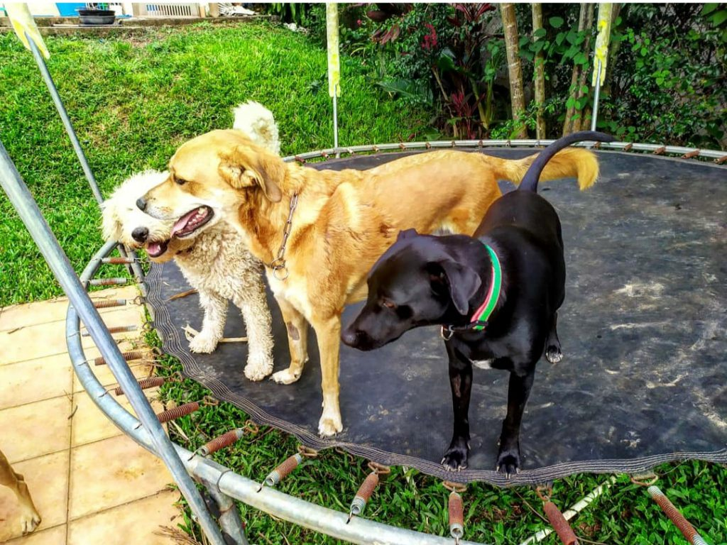 Dogs on Trampoline The Wet Nose Rescue Costa Rica